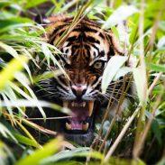 ¡Tigres!